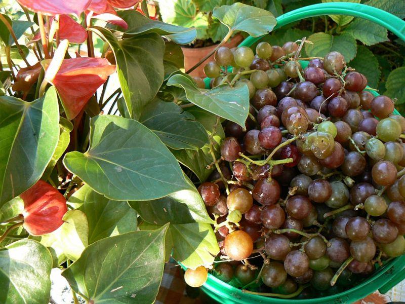 Domowy sok winogronowy