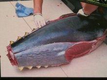 100 kg tuńczyk w Polsce wzbudził sensację