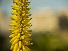 Aloes kwiat