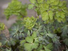 Lubczyk- zdrowe zioło w kuchni