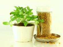 Kozieradka - roślina, która działa cuda