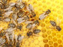 Antybiotyki prosto od pszczół