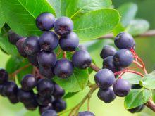 Aronia - owoc na wiele dolegliwości