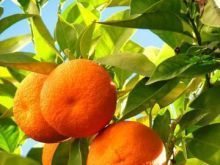 Coca–Cola rezygnuje z owoców z niewolniczych plantacji