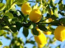 Cytryny i limonki nie lubią lodówek