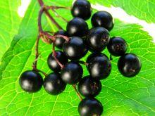 Czarny bez - magiczna roślina
