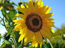 Dlaczego warto skubać słonecznik?