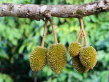 Durian - najbardziej śmierdzący owoc świata