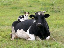 Dwie krowy siedzą na drutach wysokiego napięcia