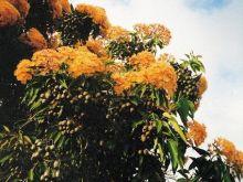 Eukaliptus gałkowy czyli liść laurowy