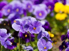 Jadalne kwiaty - co warto wiedzieć?