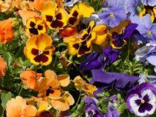 Jak zrobić kandyzowane kwiatki