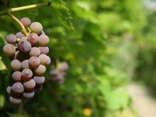 Jakie winogrona na przyjęcia?