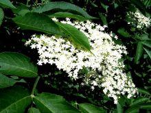 Lekarstwo z kwiatów czarnego bzu