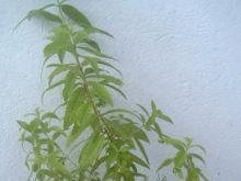 Lippia trójlistna-werbena cytrynowa