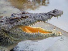 Mięso krokodyle w Czechach?