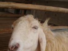 Muzyka, masaże i spacery dla owiec