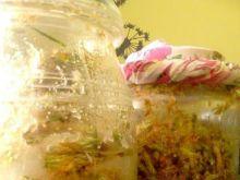 Nalewka z pędów sosny
