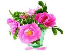 Naturalna moc owoców róży