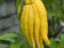 Niespotykane owoce: ręka buddy, durian i dulse
