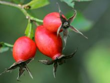 Owoce dzikiej róży dobre na wiele dolegliwości