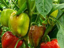 Papryka odmiany i zastosowanie w kuchni