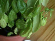 Pasta serowa z brokułem i pomidorami suszonymi