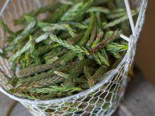 Jak zrobić syrop z pędów sosny?
