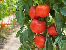 Pomidor - jakie witaminy zawiera
