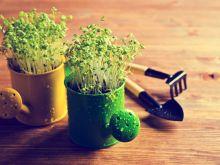 Rzeżucha – smak nadchodzącej wiosny