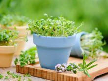 Rzeżucha – źródło witamin i mikroelementów