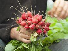 Rzodkiew - warzywo na surówkę i sok