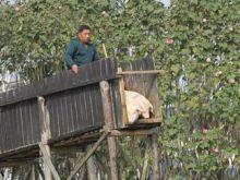 Smaczniejszy boczek z nurkujących świń?