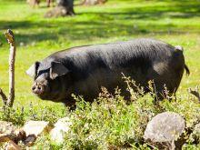 Czarna świnia - dlaczego jest tak wyjątkowa?