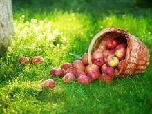 Tajwańczycy oszaleli na punkcie jabłek!