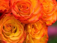 Z bukietem róż pędzę, by oddać go w Twoje ręce