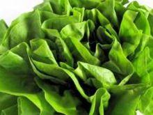 Zielona sałata
