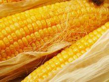 Złocista kukurydza