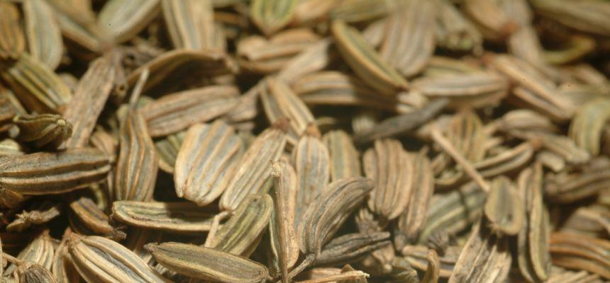 Koper włoski, fenkuł - nasiona