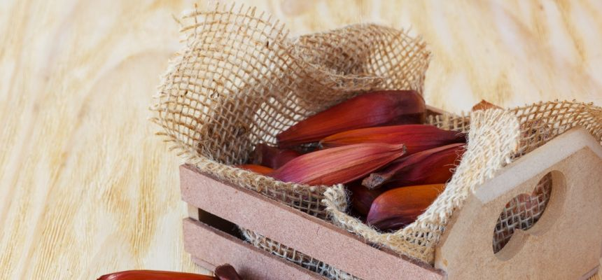 Nasiona araukarii