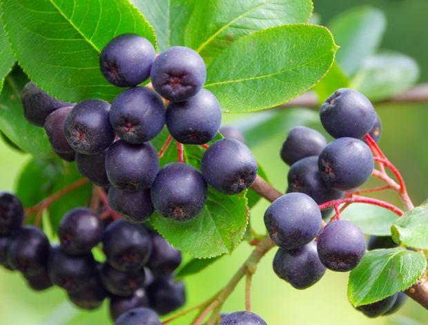 Aronia: pyszny krzew owocowy