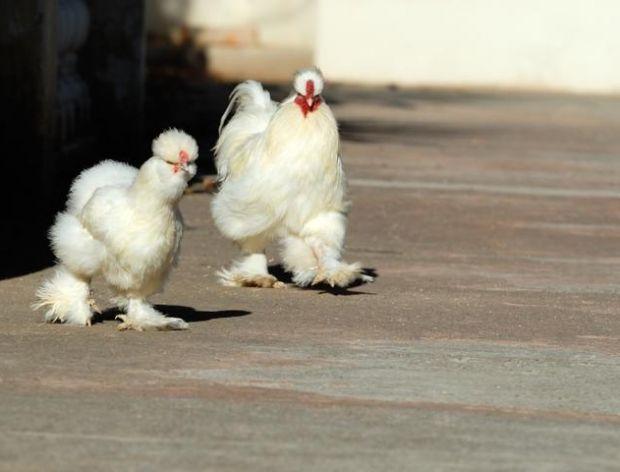 Czarny kurczak, czyli silkie – kura jedwabista