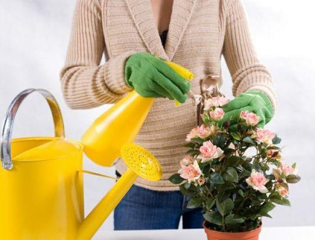 Czym nawozić kwiaty pokojowe