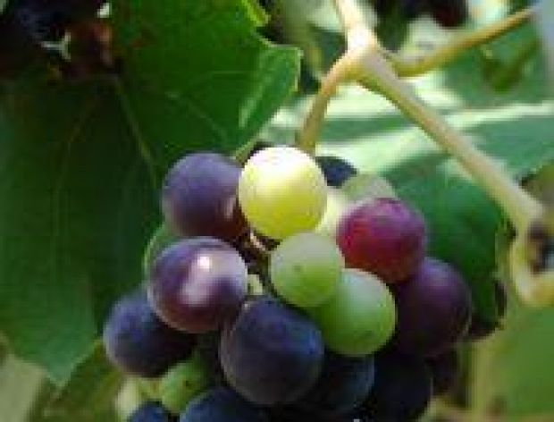 Dzień Młodego Wina