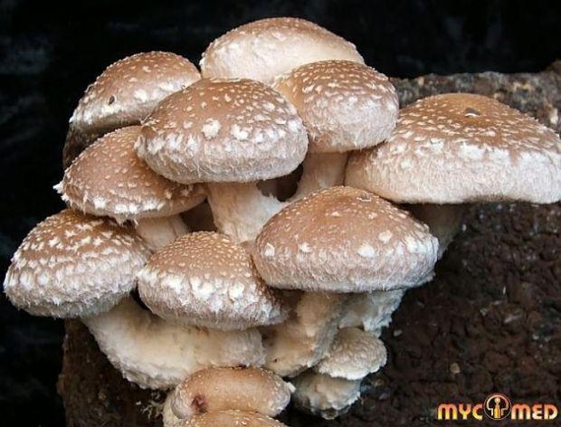 Farma grzybów leczniczych Mycomed