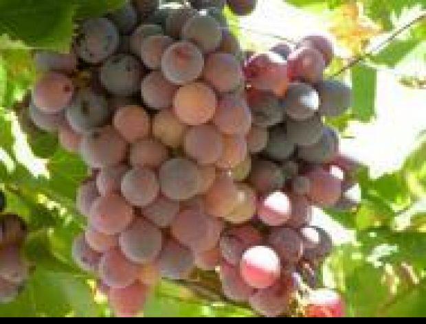 Jak serwować winogrona?