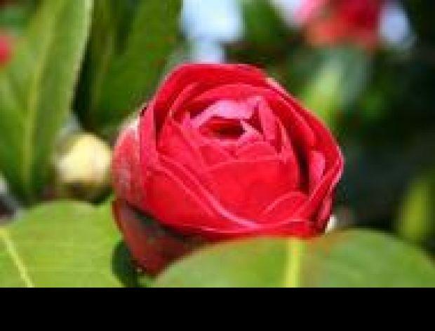 Jestem mała różyczka