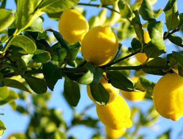 Kilka faktów o cytrynie