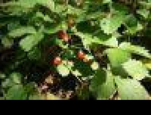 Koleżanka truskawki - poziomka