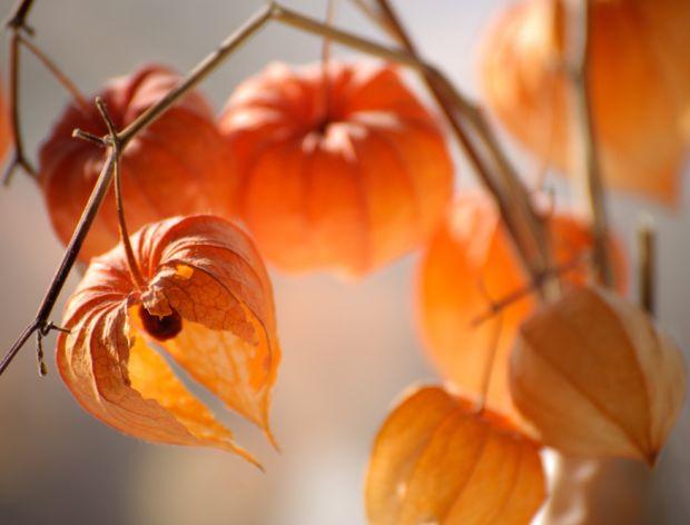 Miechunka peruwiańska: złota jagoda